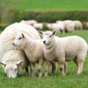 Breeding Sheep from Innovis