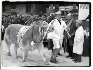 Royal Welsh Winter Fair fatstock winner Lucky Lad