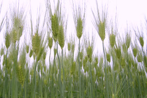 royal welsh crop husbandry wiuth welsh grain