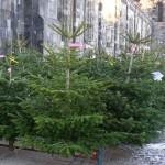 Trefhedyn Garden Centre offer some Christmas Tree advice