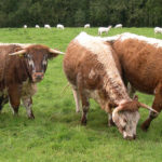 """Carn Edward is """"longhorned"""" into Monmouthshire Food Festival"""