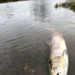 Wye and Usk Foundation report serious pollution on River Teifi
