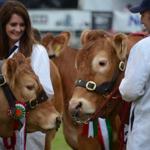 royal welsh cattle