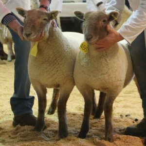 welsh lamb being shown live